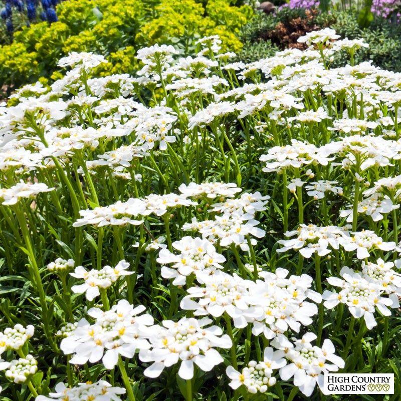 Purity Dwarf Candytuft Iberis Edging Plants Evergreen Groundcover Perennials