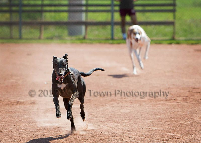 Annie the greyhound usually beats Frankie, her slightly slower (but still faster than any other dog in town) Greyhound brother.