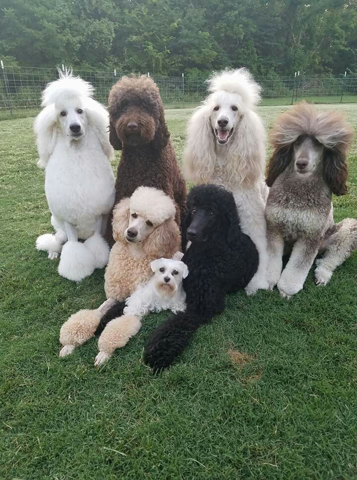 Pin By Minela On Standard Poodles Dog Breeds Poodle Dog Puppy Breeds