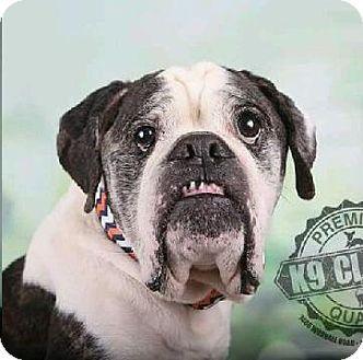 Kansas City, MO English Bulldog/Boxer Mix. Meet Zeke, a