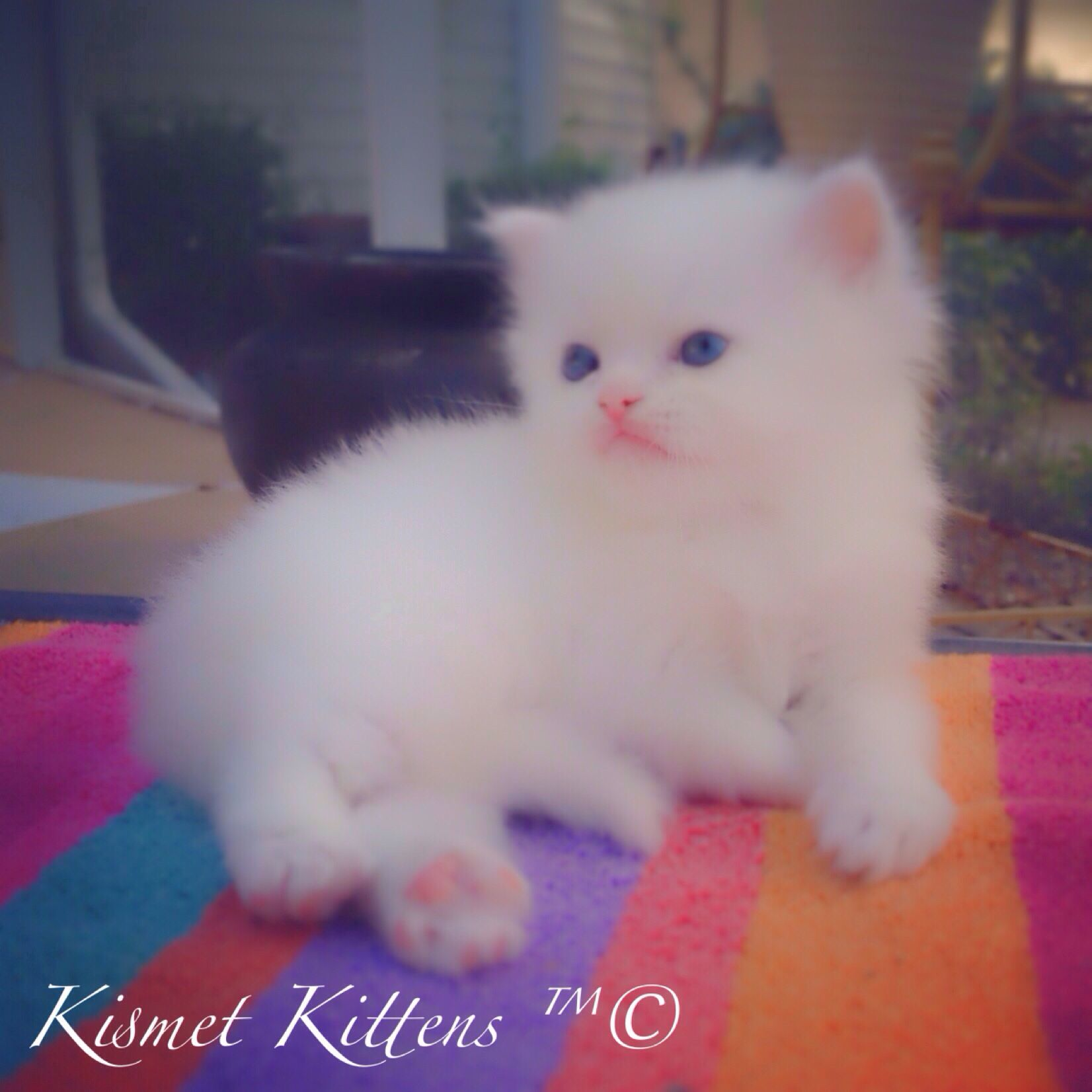 For Sale White Doll Face Kitten with Blue Eyes. Male