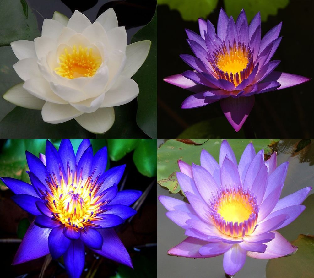 10 lotus flower seeds pink blue white purple fresh 4 colors 10 lotus flower seeds pink blue white purple fresh 4 colors mixed water lily dhlflorist Images
