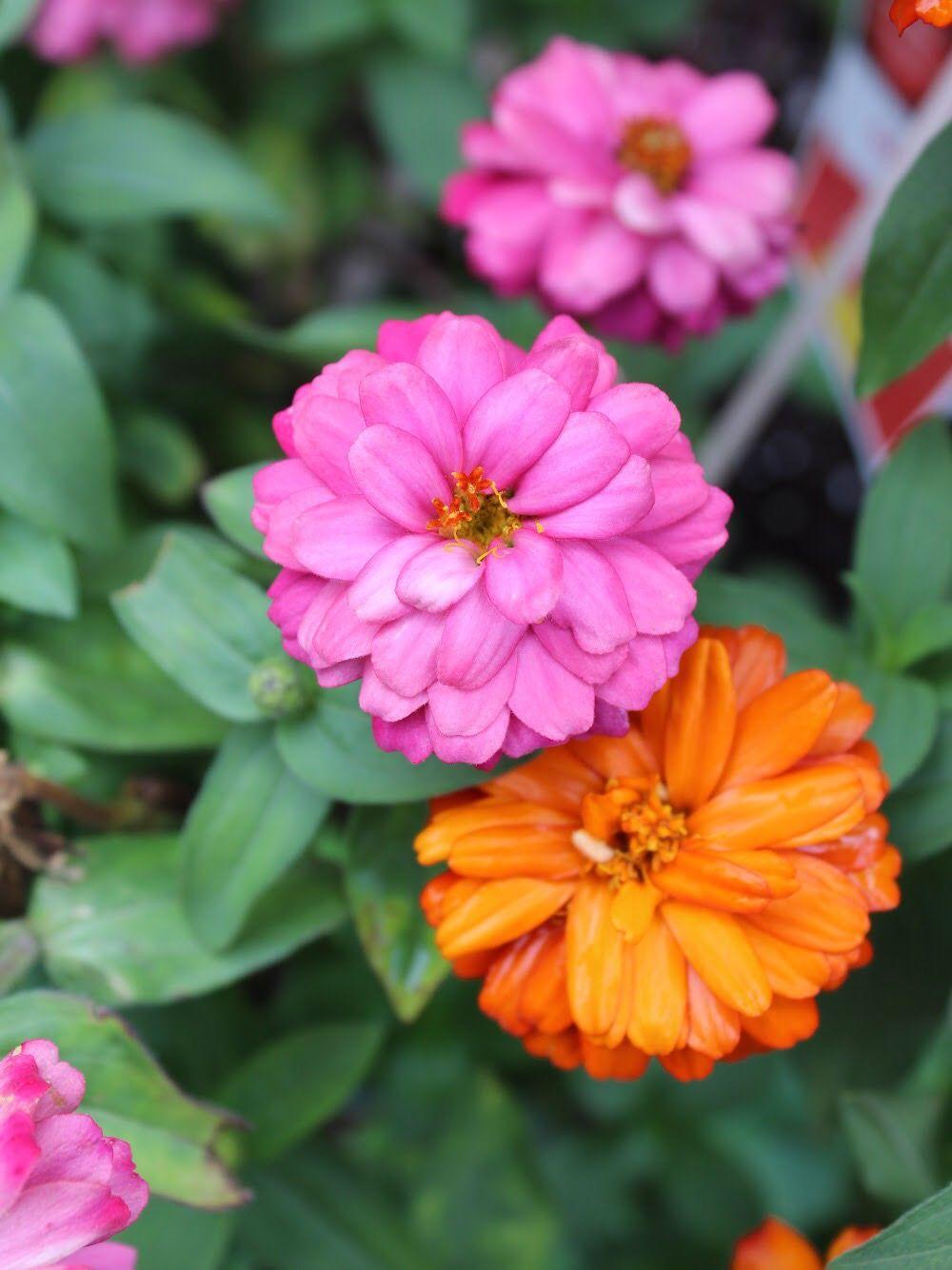 pink flower, orange flower, nature, scenery, DSLR