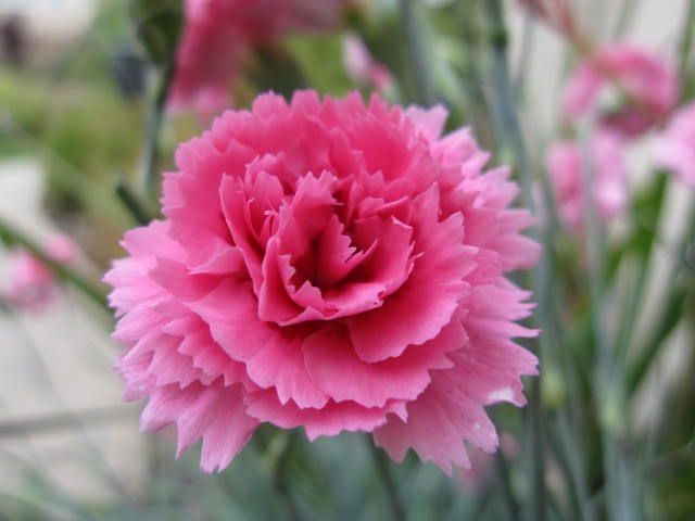 Carnation Spain Flowers Flower Seeds Carnation Flower