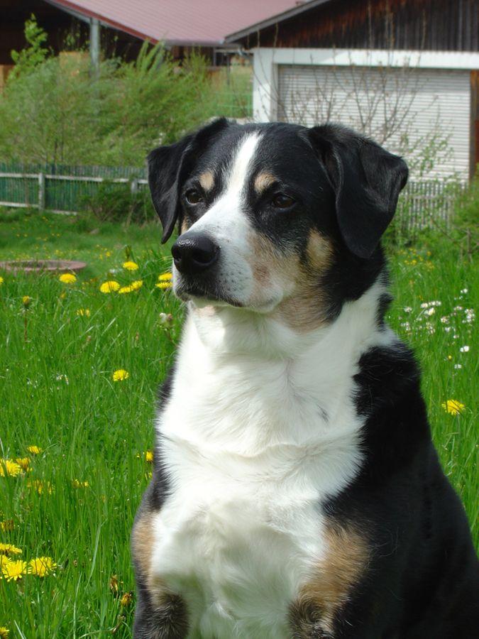 Appenzeller Sennenhund Rassebeschreibung Sennenhund Appenzeller Sennenhund Hunde