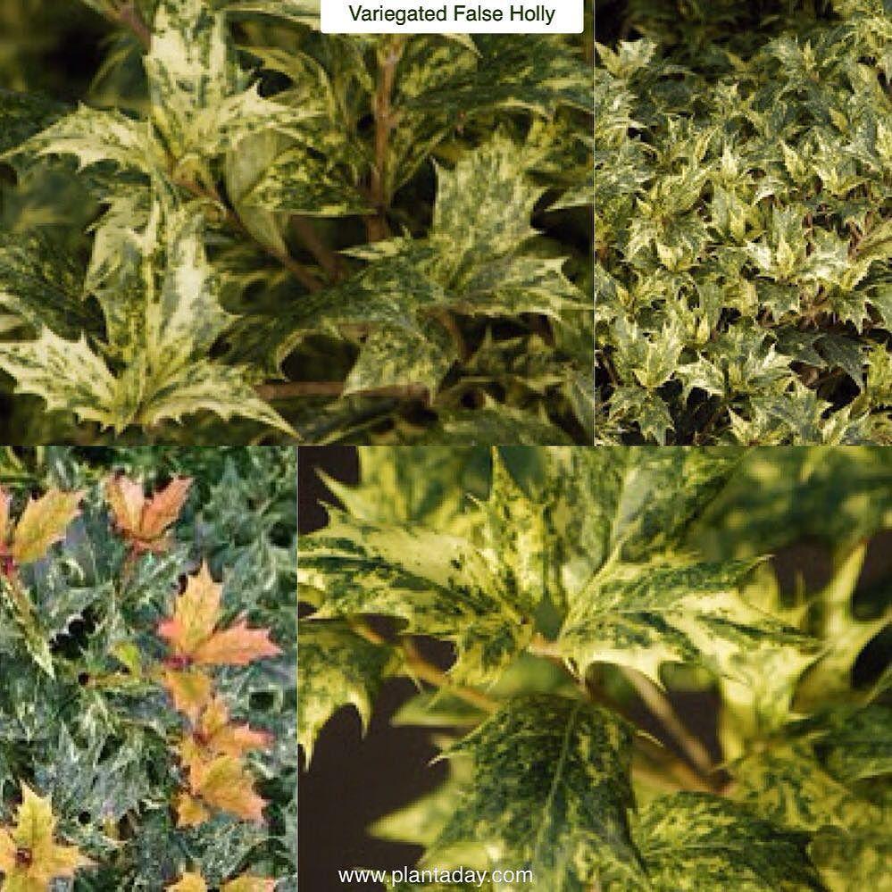 """Variegated False Holly Osmanthus heterophyllus """"Goshiki"""" Type"""