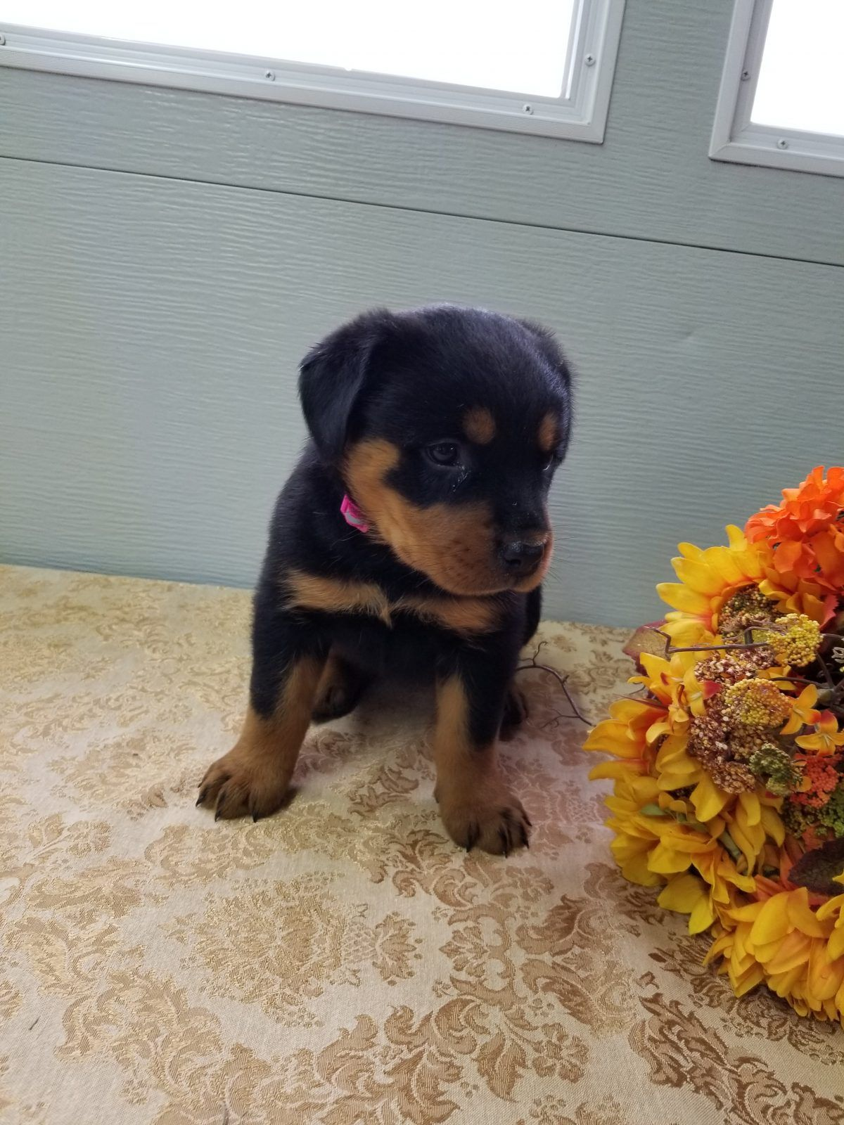 Daisy female Rottweiler puppies for sale near Fort Wayne