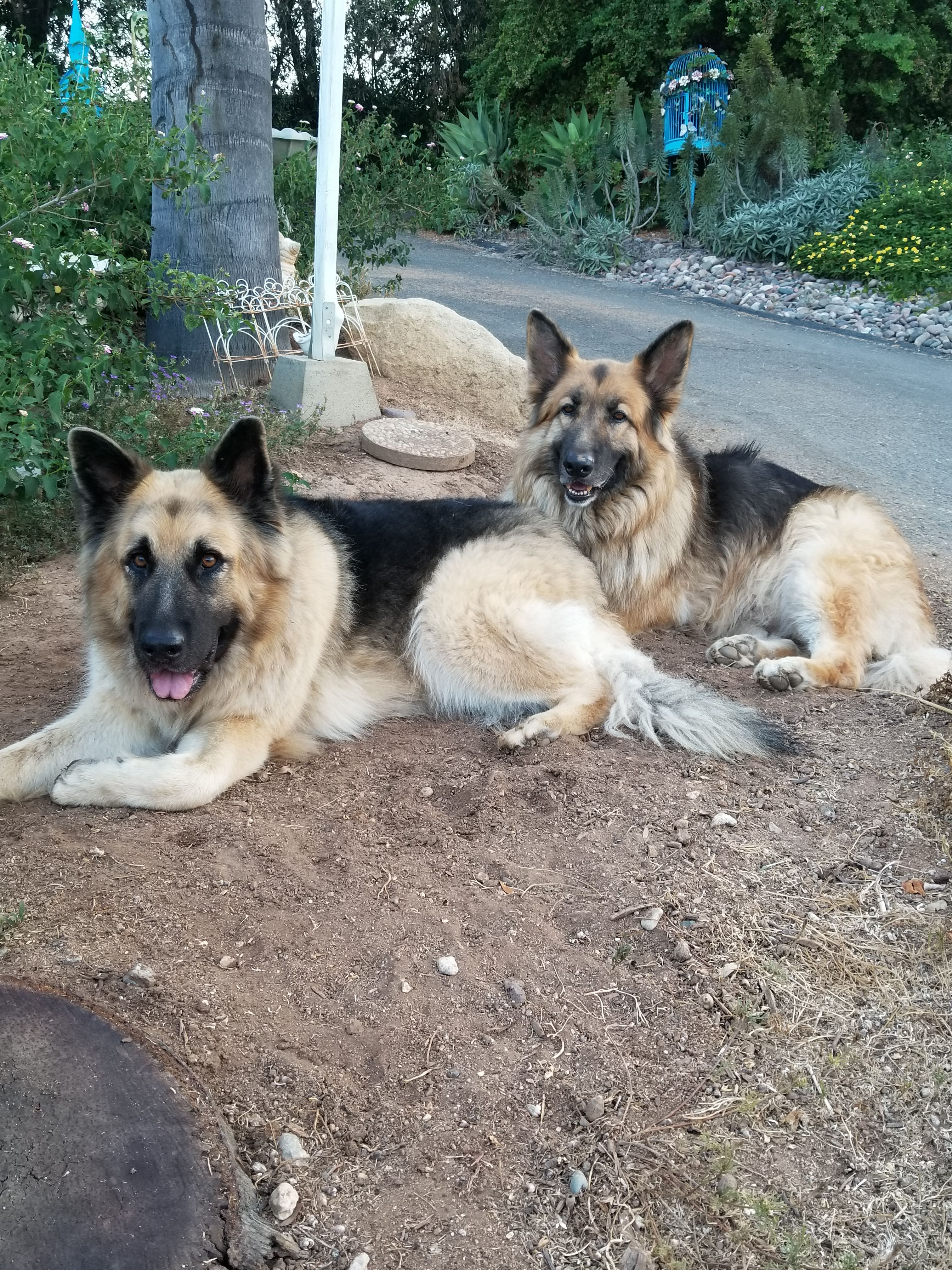 Pin by Eva M. Shelton on German shepherds Dog background