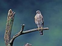 Besra sperwer - Accipiter virgatus