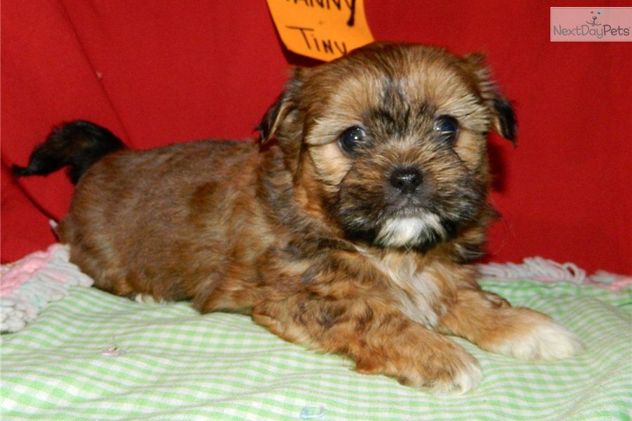 Handsome Little Shorkie Boy In Northeast Indiana Shorkie Puppies Animated Animals Puppies