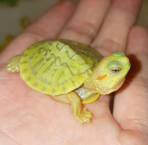 Lemon Lime Albino Red Ear Slider Turtlephoto Credit