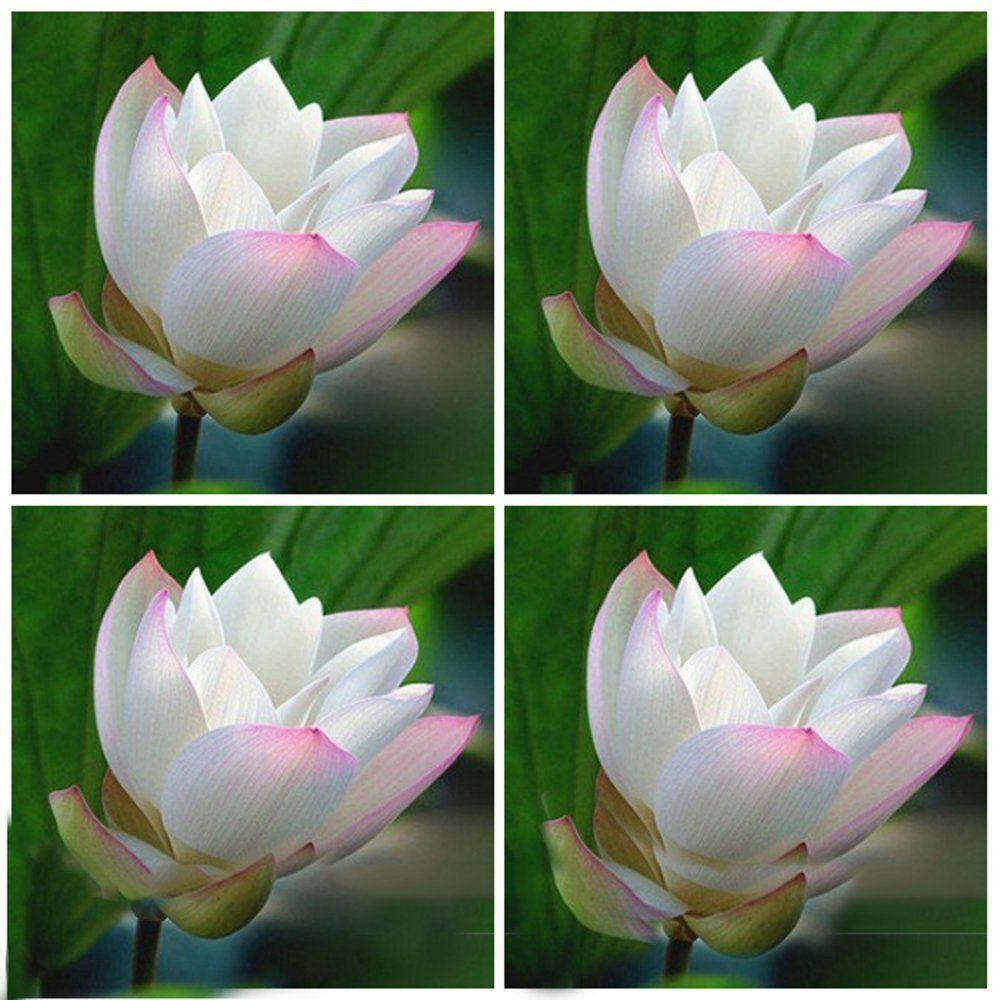 Amazon Best Garden Seeds Heirloom White Nelumbo Nucifera W