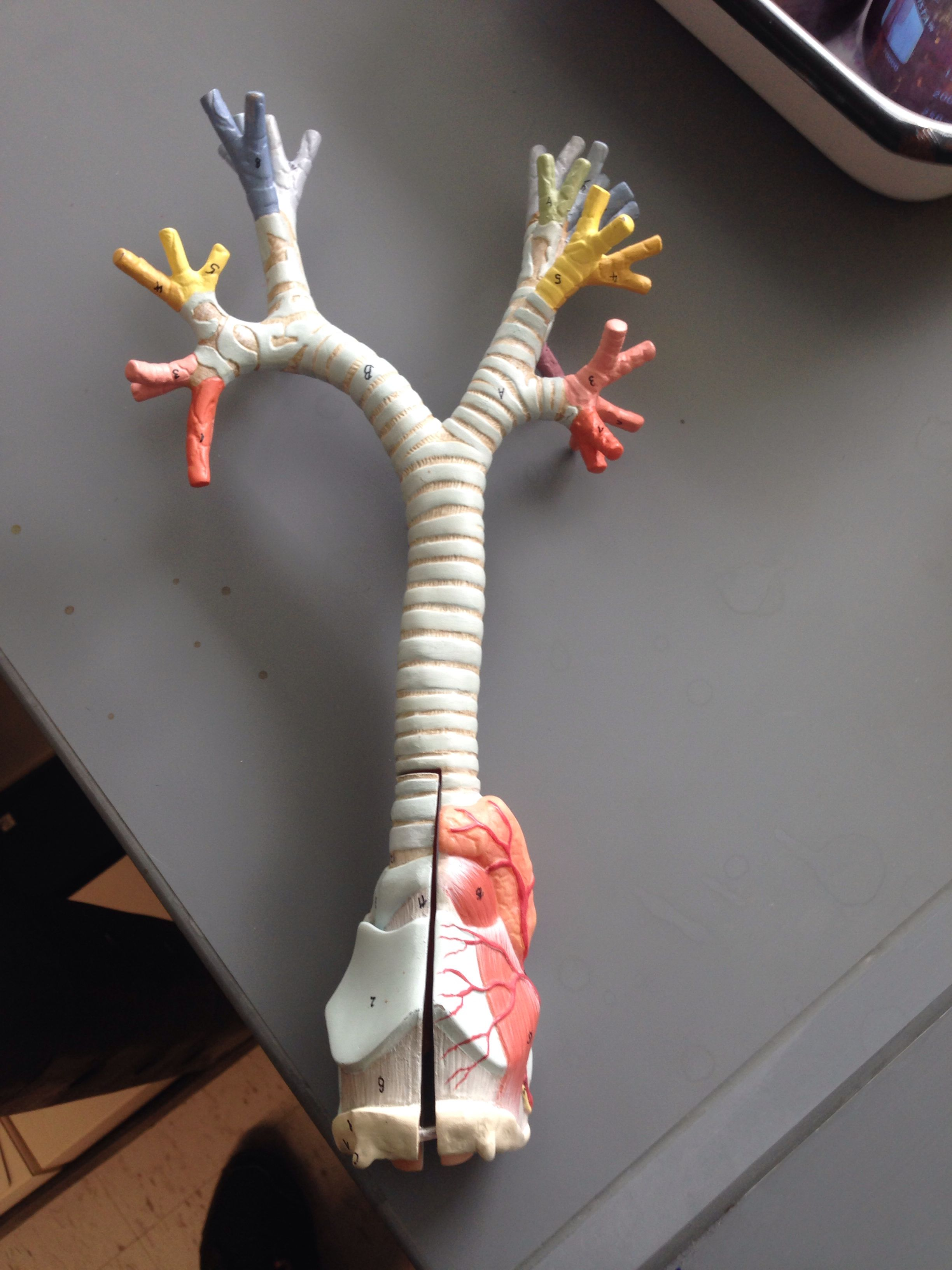 Another bronchial tree | Anatomy and physiology 2 pictures | Pinterest