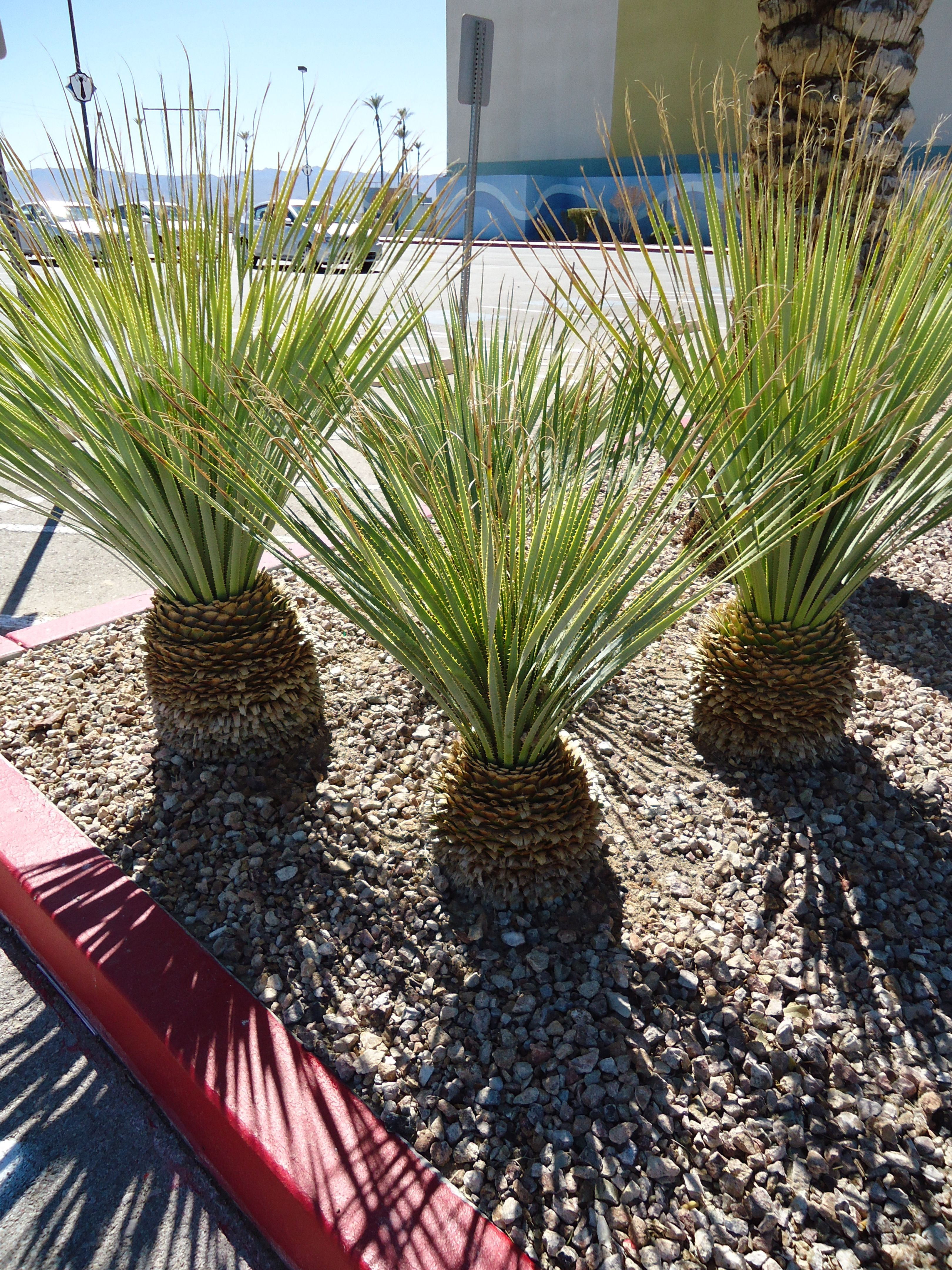 plantas desérticas fáciles de mantener la palma pinterest