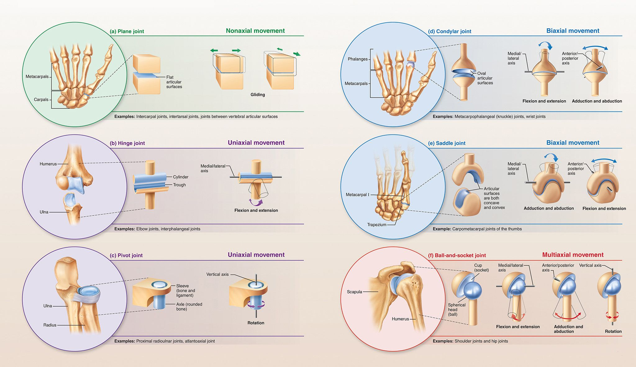 8.4 Synovial joints have a fluid-filled joint cavity: Human Anatomy ...