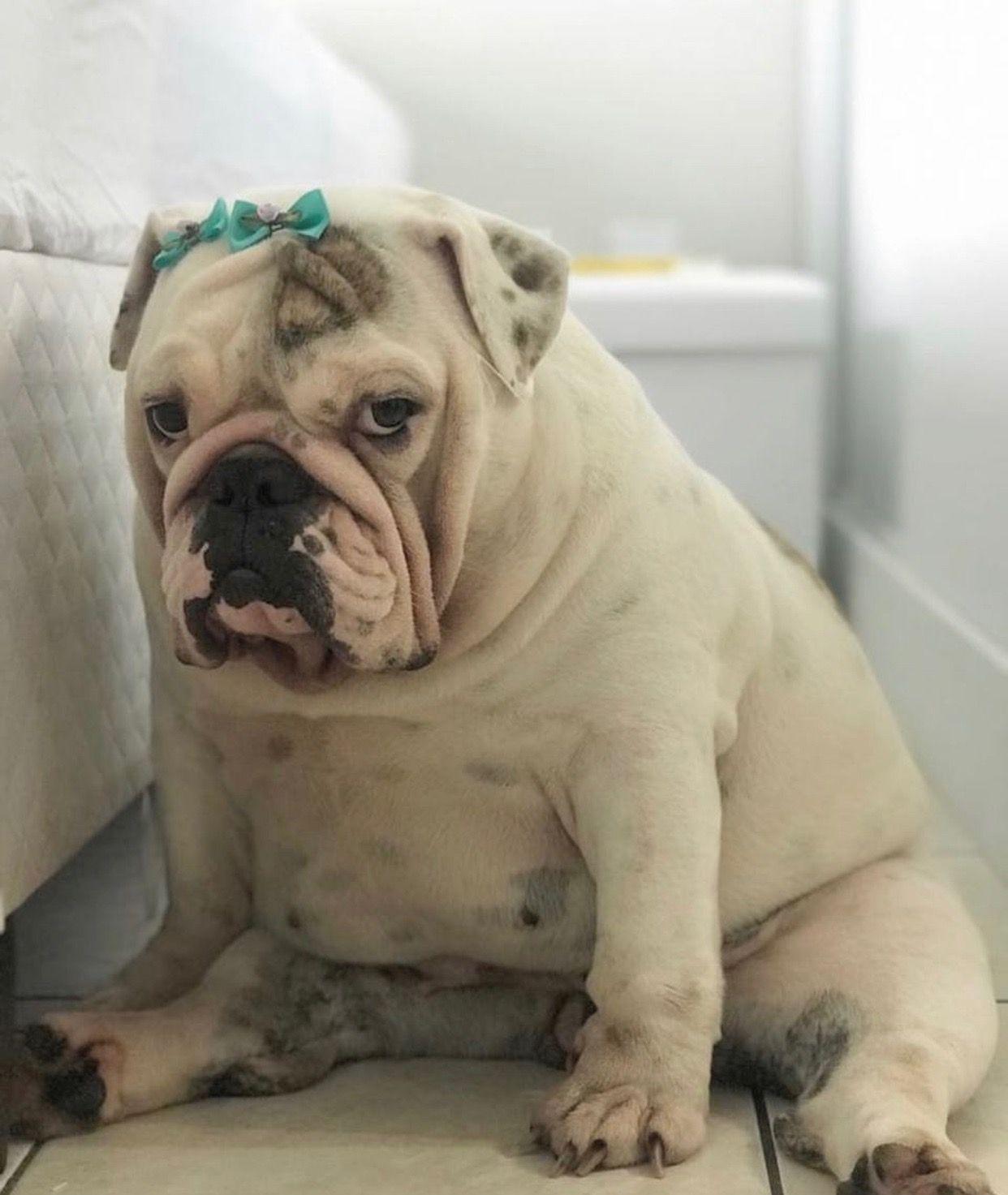 Pin By Monica Mayer On Puppy Love Bulldog Bulldog Dog Bulldog