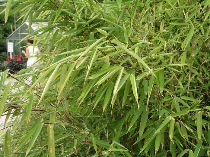 Bambus Bambus, Bambushecke und Pflanzen