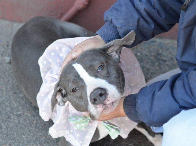 SAFE 5-4-2015 --- Brooklyn Center KIRI – A1033929 FEMALE, GRAY / WHITE, PIT BULL MIX, 3 yrs STRAY – STRAY WAIT, NO HOLD Reason STRAY Intake condition UNSPECIFIE Intake Date 04/21/2015