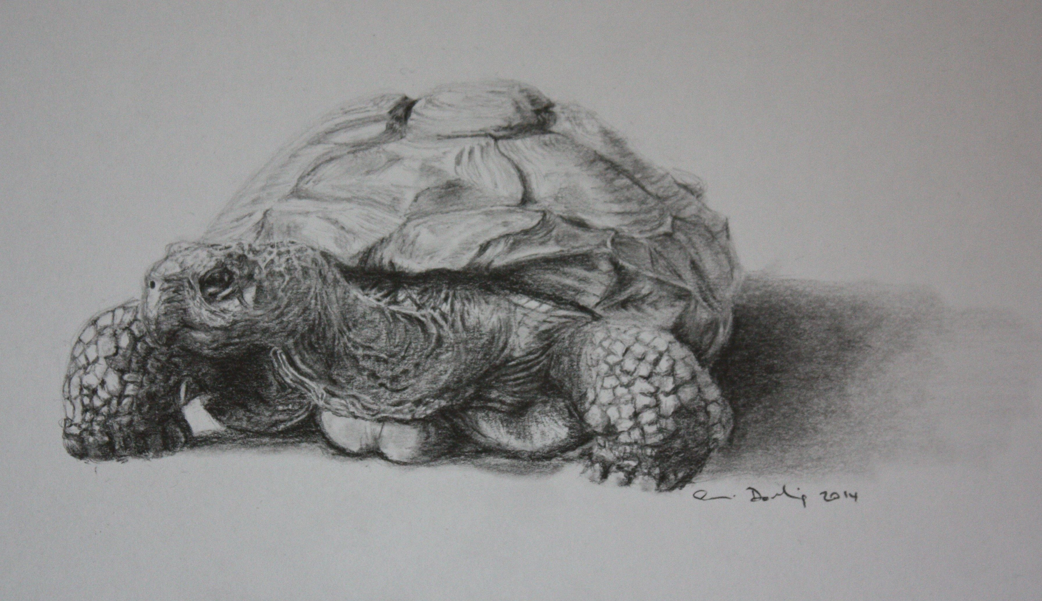 Giant tortoise named colombo graphite sketch by simon darling 龟