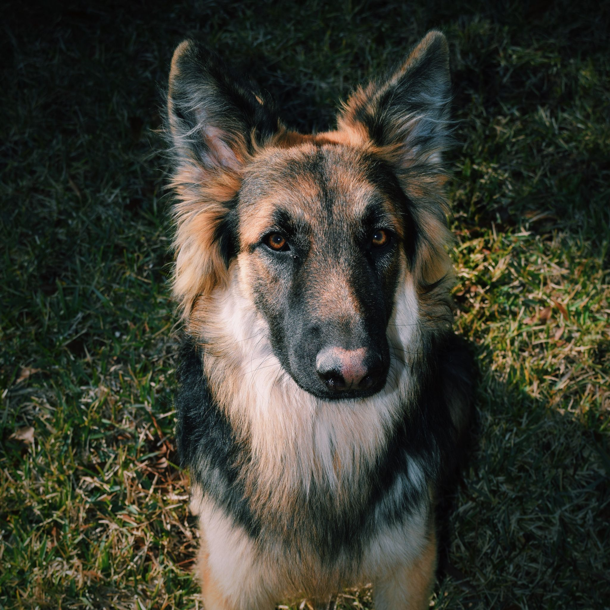 German Shepard puppy. Shot with Nikon D3300 55mm German