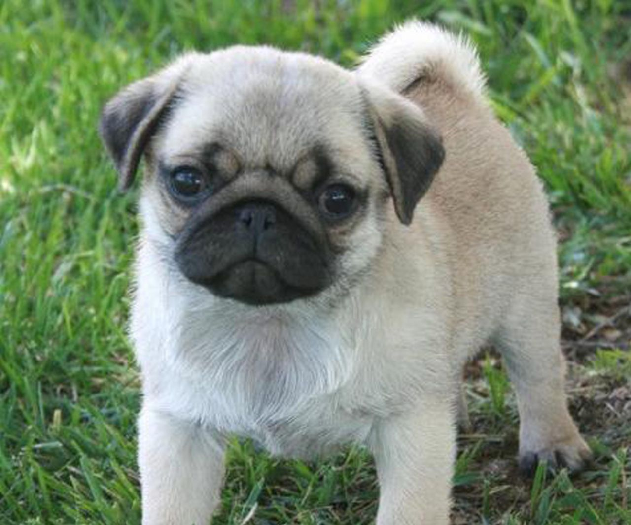 This Pug Puppies For Sale 580 Posted 26 Days Ago For Sale Dogs Pug