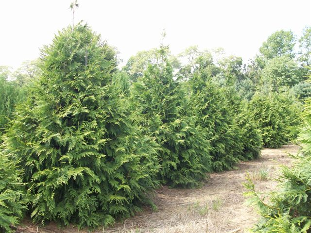 Thuja plicata 39 green giant 39 moderately deer resistant for Green giant arborvitae