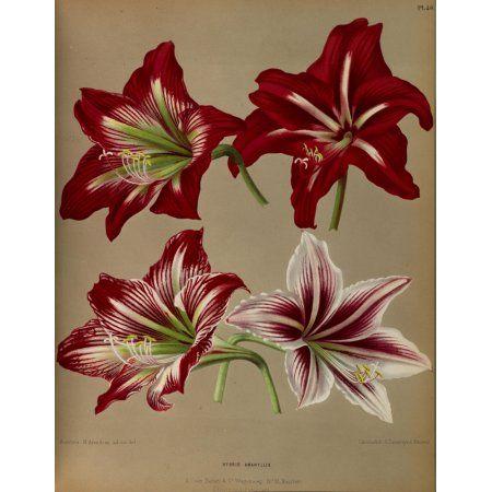 Haarlems Flora 1872 Hybrid Amaryllis Canvas Art - Arentine H Arendsen (18 x 24)