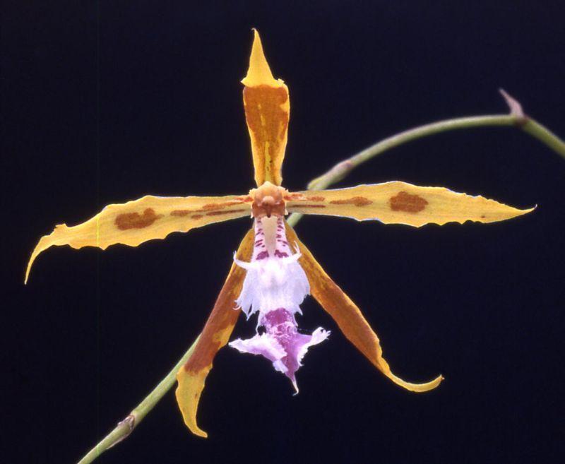 Odontoglossum wallisii