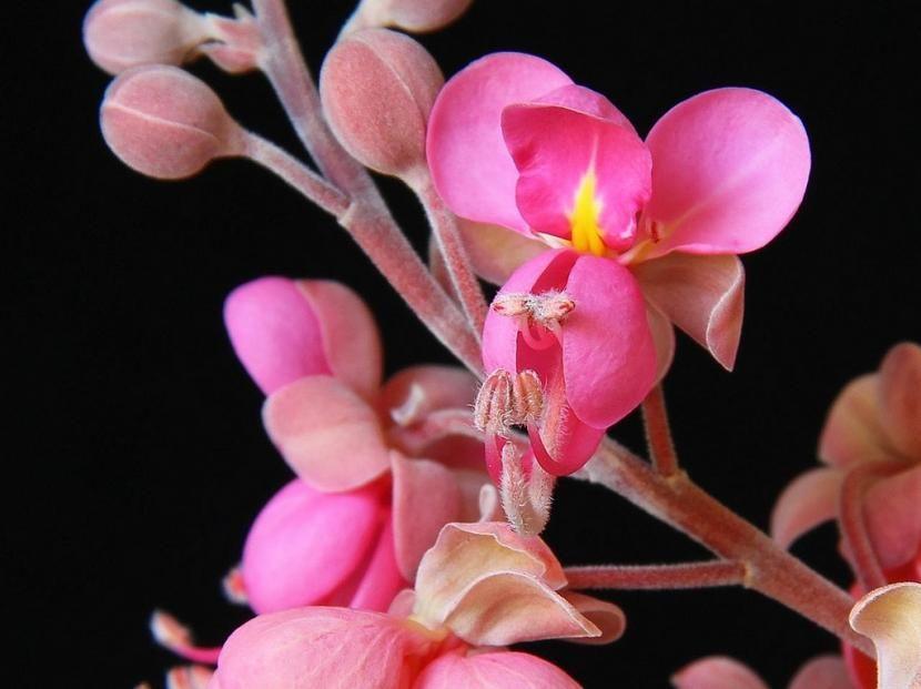 Buscando arbustos de bellas flores? Descubre a las Cassia Flowers