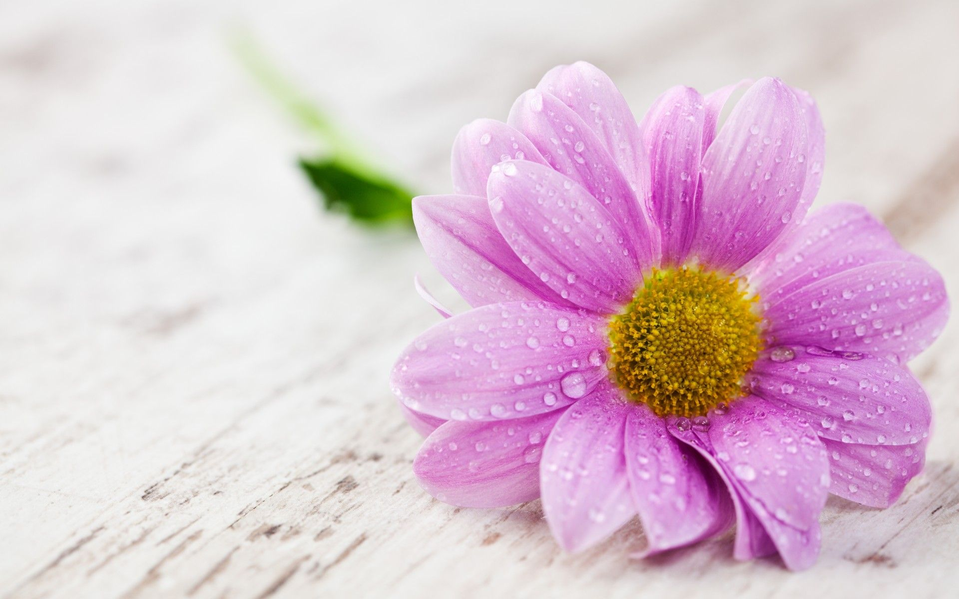 Hermosas Flores Blancas Wallpaper Hd Fondos De Pantalla Gratis: Flower Drops Water Petals Table G Wallpaper