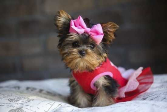 Cute Male And Female Teacup Yorkie Puppies For New Home 614 996 3645 Yorkie Puppy Teacup Yorkie Puppy Yorkie