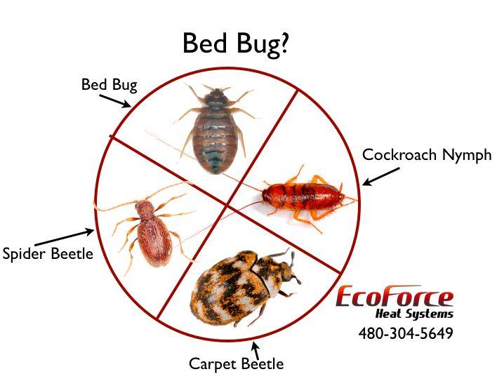 Identifying Bed Bugs Www Ecoforceheatsystems Com Bed Bugs