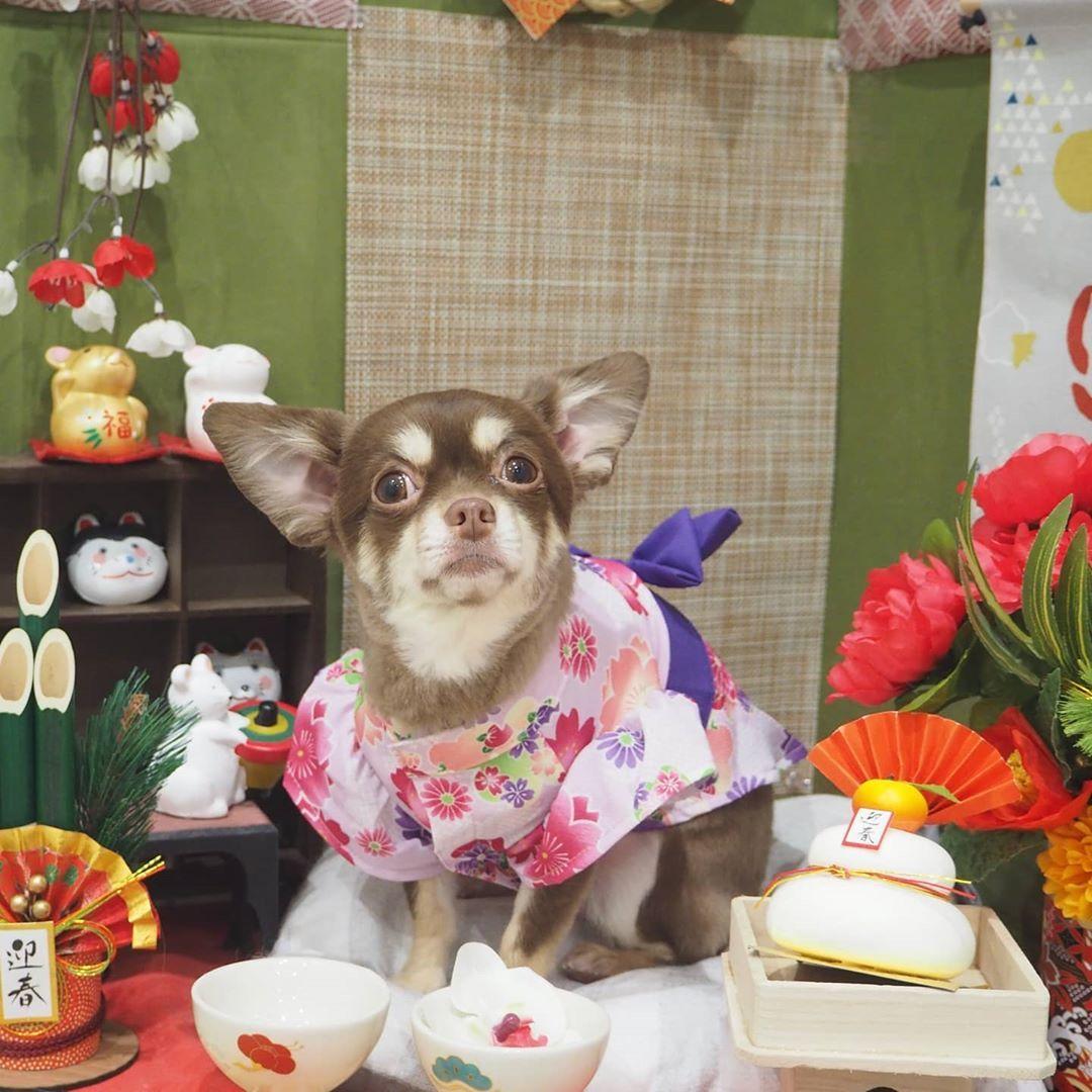 月姫 来ていたお着物でも撮影 Eluahouse エルアハウス トリミングサロン ドッグサロン 大阪トリミングサロン 上本町トリミングサロン ペットサロン チワワ チワワ好き 犬好き チワワ Decor Pets Home Decor