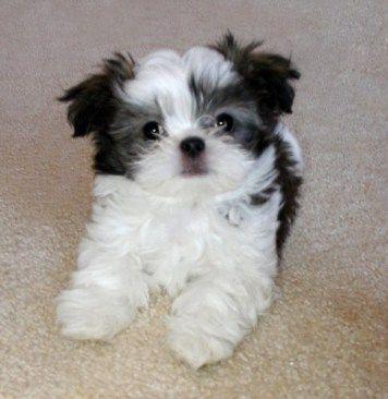 Mi Ki Breed Facts Belle Amie Mi Kis Puppy Dog Information Miki Dog Puppy Breeds Shih Tzu