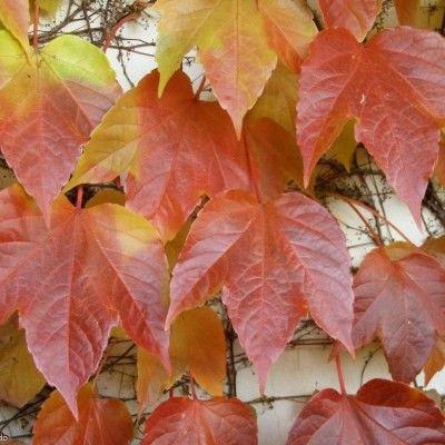 Vigne vierge de Veitch Robusta | Feuilles de plantes, Comment planter, Planter une vigne
