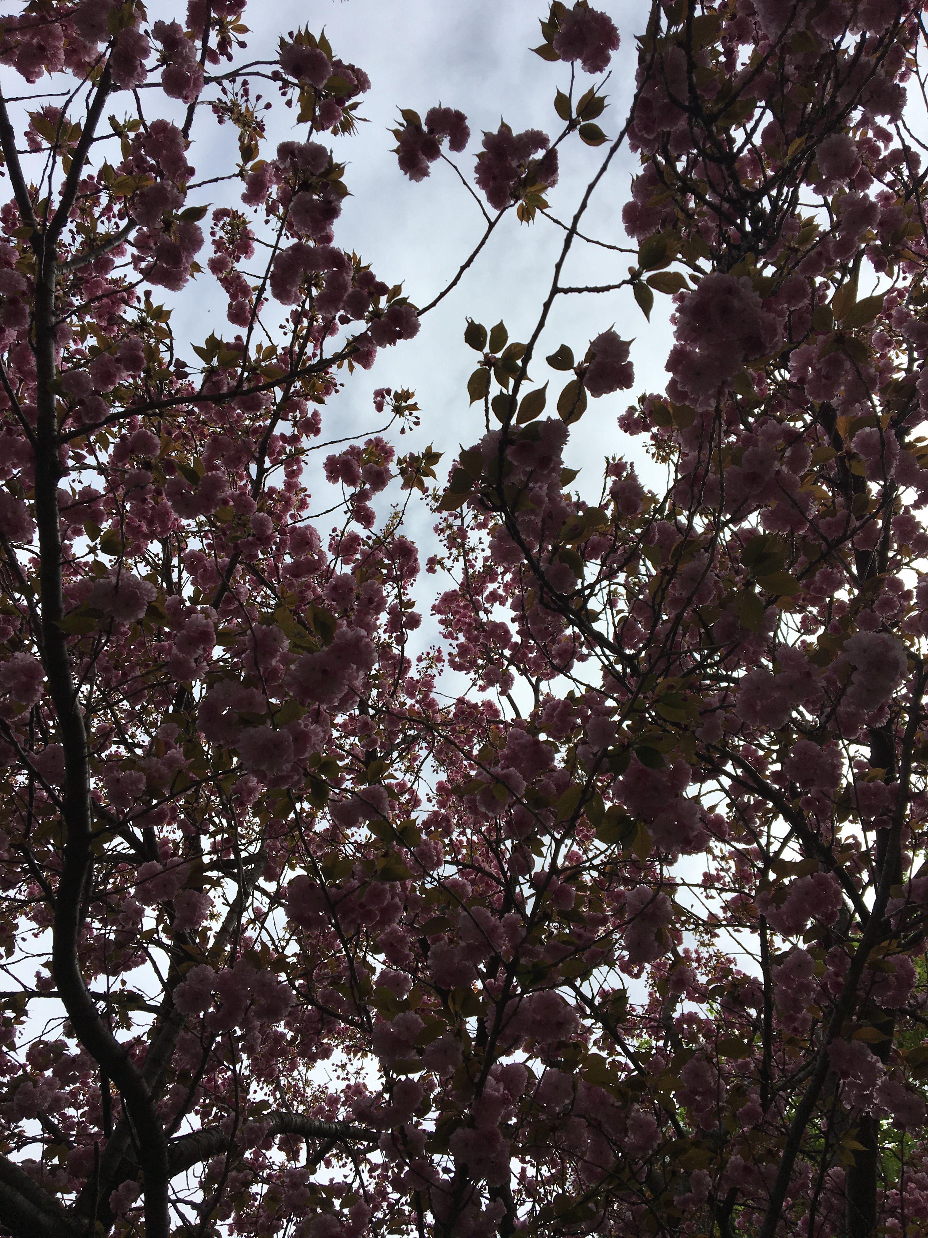 Cherry Blossom Tree Cherry Blossom Tree Blossom Trees Blossom