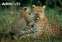 Leopard: The female leopards live only with their cub(s).