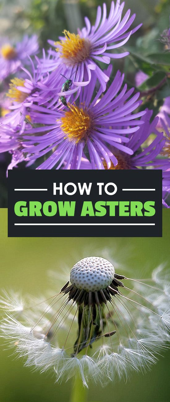 How To Grow Beautiful Aster Flowers Summer Garden Planting Flowers Garden Plants