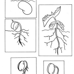 Lima Bean Sequence Coloring Page Coloring Pages Sunflower Coloring Pages Plant Sketches