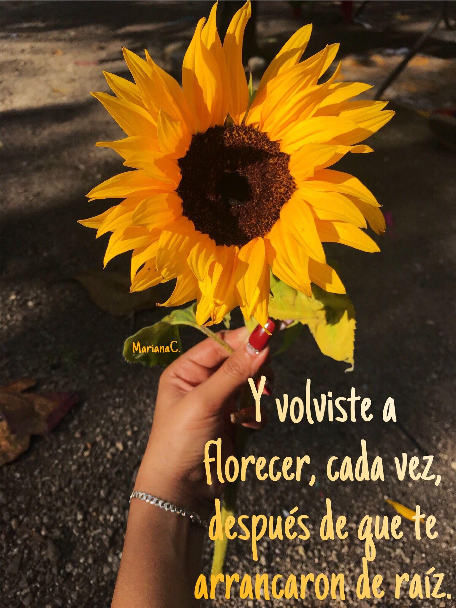 Girassol Girasoles Frases Motivacion Florecer