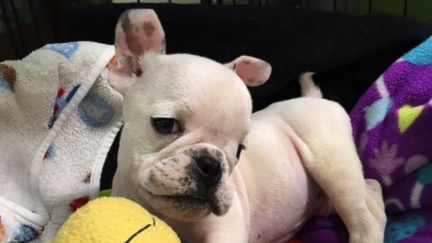 Puppy With Special Needs Thriving After Physical Therapy Rescue