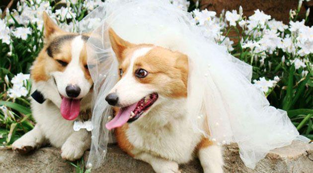 The Happy Corgi Couple Corgi Corgi Wedding