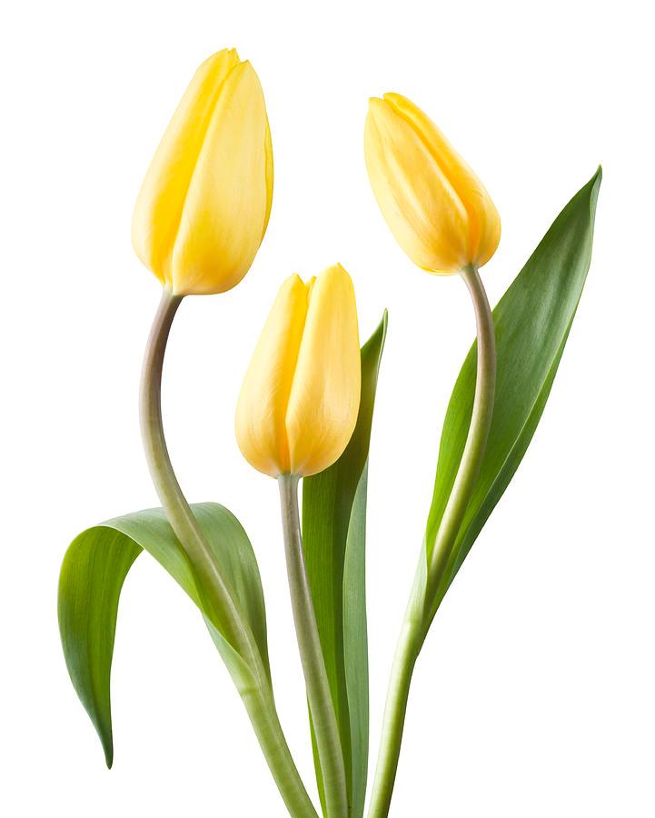 Tulips Google Search Bunga Tulip Tanaman Hijau Tanaman