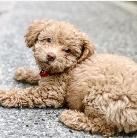 #poodlelover #poodle🐩 #poodle_feature #poodleoftheday #poodletoday #cutedogs #poodlepuppies #poodlemania #toypoodle #poodleclub #poodledog #poodlebaby #poodlecuteness #instapoodle #poodledaily #poodlepic #poodlepup #dogsofinstagram #dogsofinsta