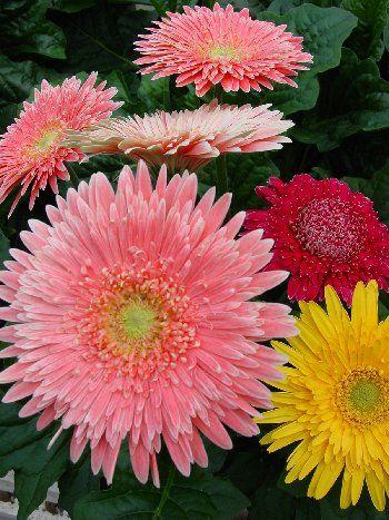 Gerbera Crazy Colors Double Eyecatcher Flowers Nature Flowers Perennials Beautiful Flower Arrangements