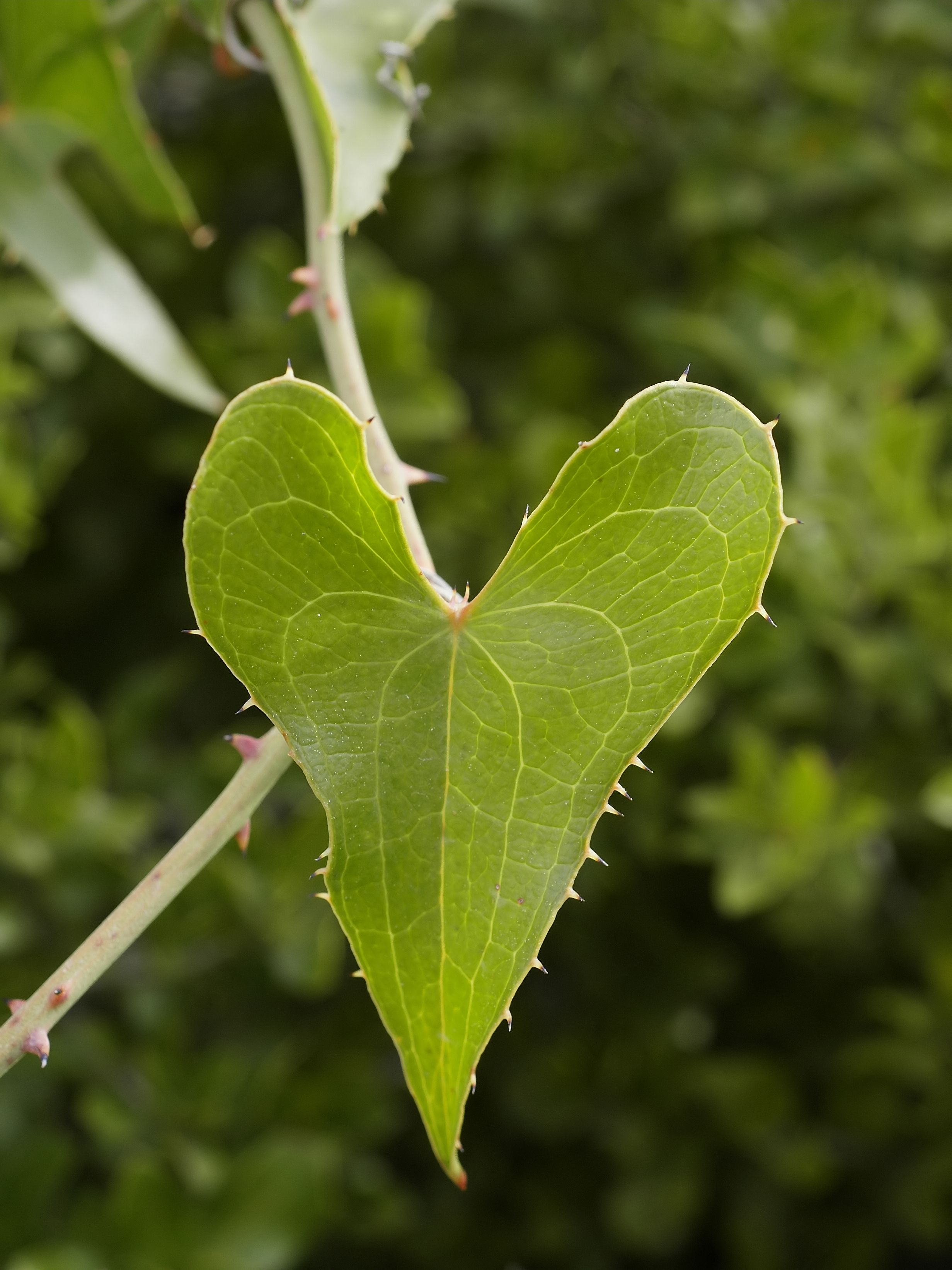 Heart Shaped Leaf Invasive Vine Check Out The Free Plant