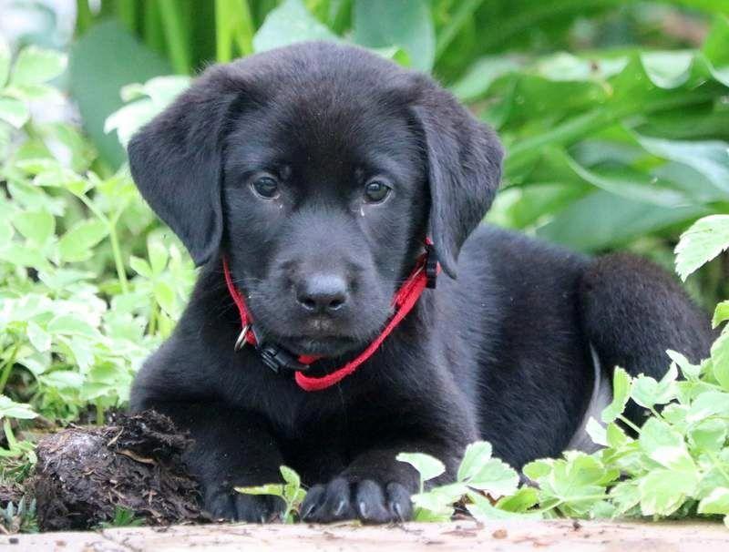Debbie Black Labrador Retriever Puppy For Sale In Pennsylvania Labrador Retriever Black Labrador Retriever Labrador Retriever Puppies