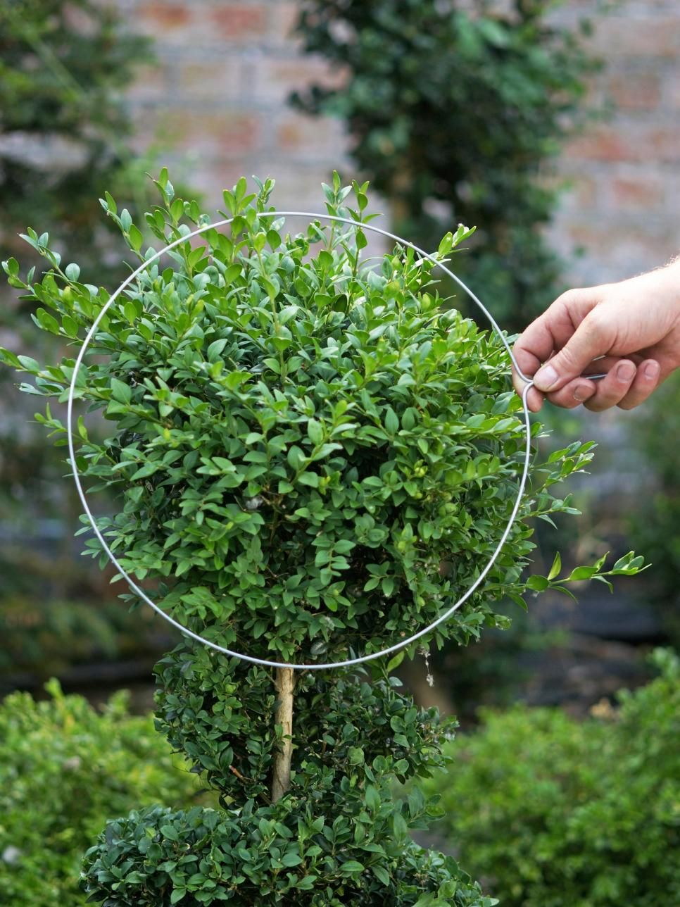 How To Trim A Perfectly Round Shrub Youtube How To Trim Bushes Shrubs Trimming Hedges