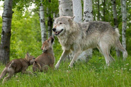 Dad wolf with pups...