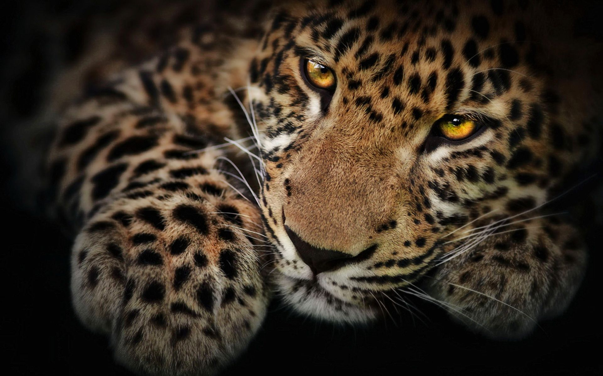 Black jaguar vs black leopard wallpaper beautiful creatures the most awesome hd wallpaper of wild animals regarding provide cozy wild wallpapers wallpapers voltagebd Image collections